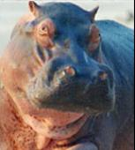 Vezi <br />PBS Nature - Hippo Beach  (2003) online subtitrat hd gratis.